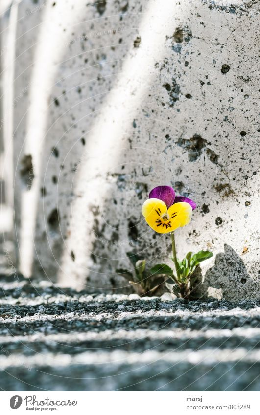 Überlebenskünstler Natur Pflanze Blume Blüte Wildpflanze Stiefmütterchen Stiefmütterchenblüte Ackerveilchen Wilde Stiefmütterchen Mauer Wand Stein Beton