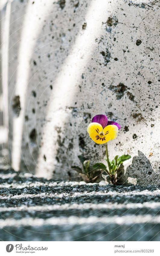 Überlebenskünstler Natur Pflanze Blume gelb Wand Blüte Mauer klein Stein träumen leuchten Erfolg authentisch stehen Fröhlichkeit Beton
