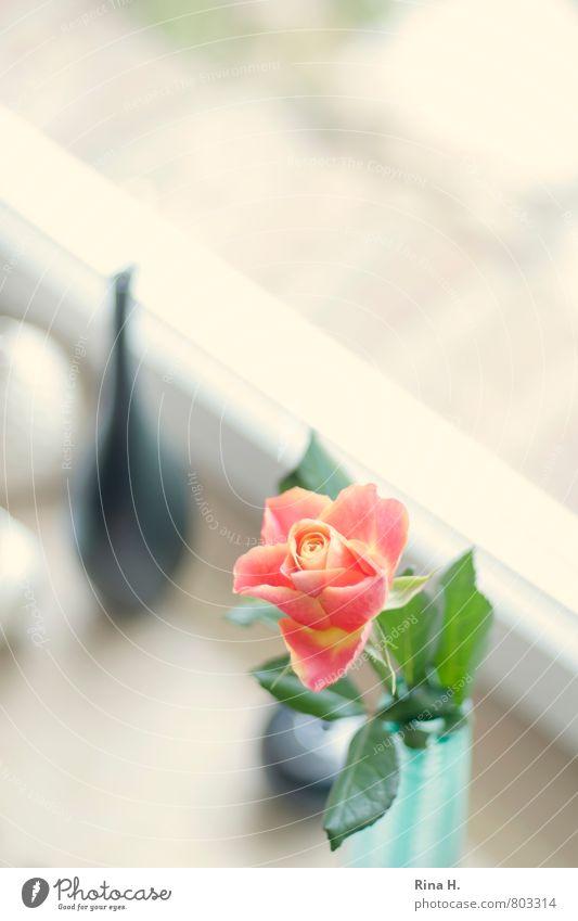 FensterStill Blume Rose hell Vase Fensterbrett Stillleben Farbfoto Innenaufnahme Menschenleer Textfreiraum rechts Textfreiraum oben Schwache Tiefenschärfe