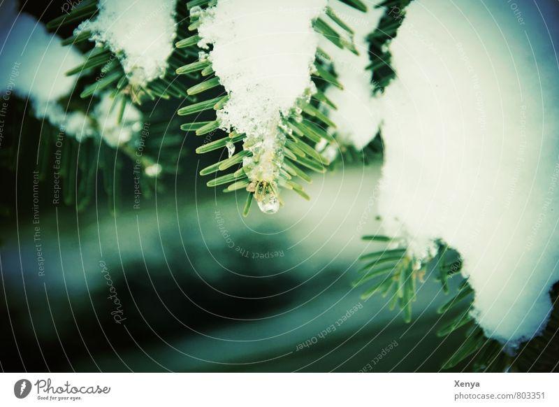 Weißgrün Natur Pflanze grün weiß Baum Winter kalt Umwelt Schnee Park Wassertropfen Nadelbaum