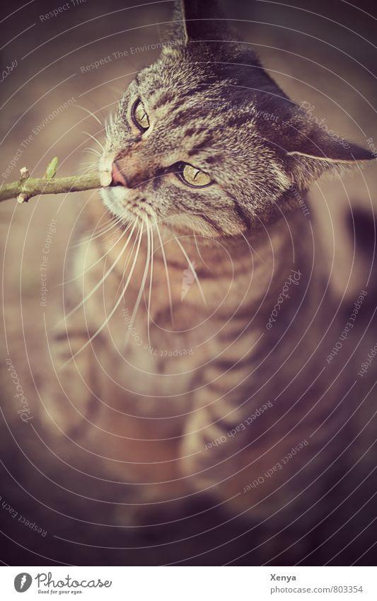 Schnupper mal Tier Haustier Katze Tiergesicht 1 Neugier braun sitzen Ast Katzenauge Tigerfellmuster Gedeckte Farben Außenaufnahme Menschenleer Tag