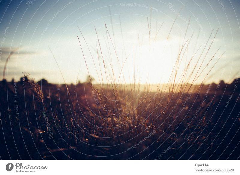 Sonnenuntergang Umwelt Natur Landschaft Pflanze Tier Sonnenaufgang Sonnenlicht Sommer Schönes Wetter Grünpflanze Nutzpflanze Feld alt beobachten Blühend warten