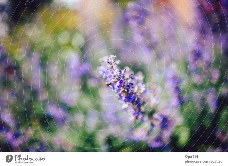 """Lila Wolken Umwelt Natur Pflanze Tier Frühling Sommer Schönes Wetter Blüte Grünpflanze Garten Park Blühend weich grün violett """"Flieder Blume"""" Farbfoto"""