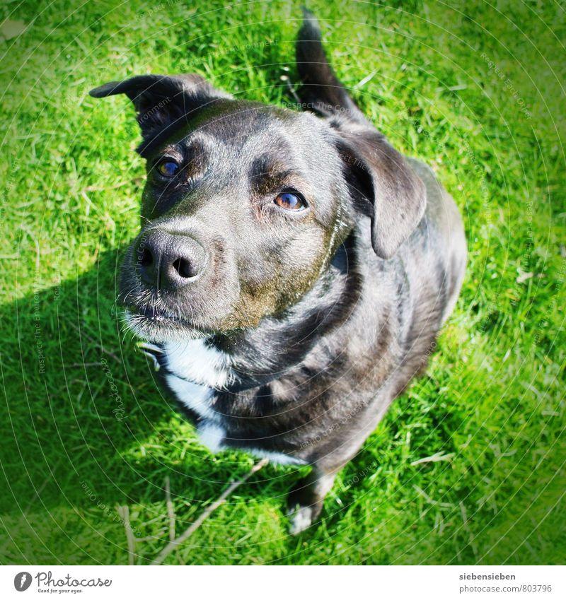 Auf die Plätze... Hund schön grün Freude Tier schwarz Gesundheit außergewöhnlich Freundschaft glänzend Kraft elegant leuchten sitzen frisch Beginn