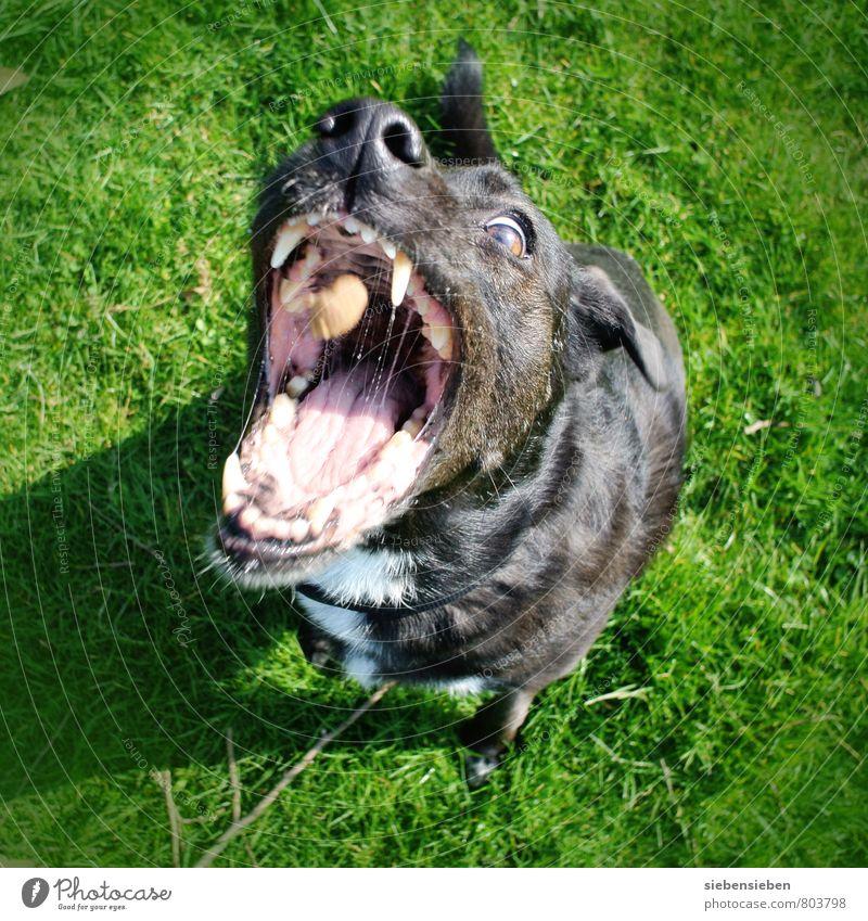 ...fertig los Tier Haustier Hund 1 Essen Fressen füttern außergewöhnlich bedrohlich lustig grün schwarz Vorfreude Begeisterung Tierliebe Leben Appetit & Hunger