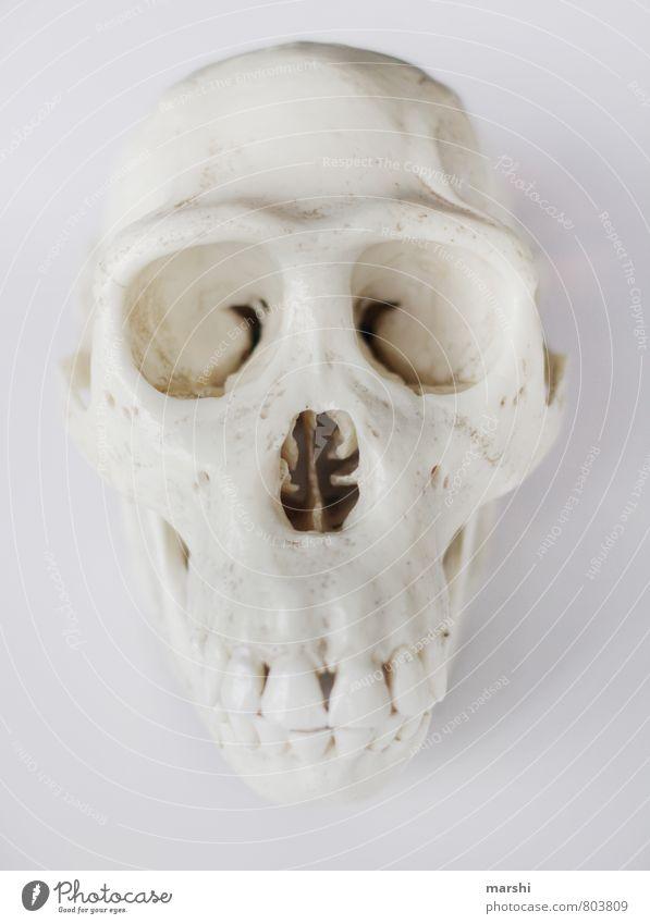 Schädel Tier Tiergesicht weiß Affen Mensch Skelett Farbfoto Innenaufnahme Freisteller Hintergrund neutral
