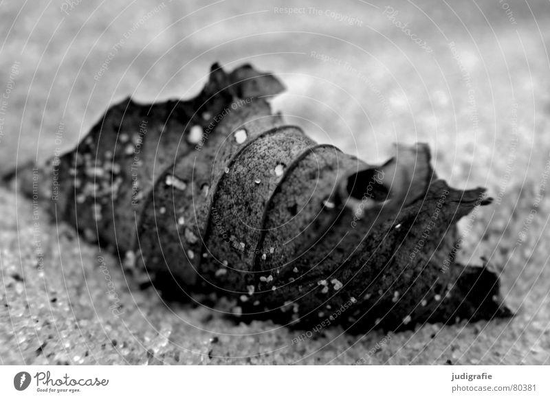 Blatt am Strand Sandkorn schwarz fein nah Herbst Weststrand Makroaufnahme Schwarzweißfoto Meer Tod Strukturen & Formen getrocknet