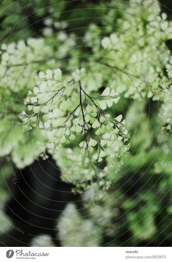 Herzchenstrauch Natur Landschaft Pflanze Sträucher Farn grün zart Schwache Tiefenschärfe blätterig Blatt Farbfoto Außenaufnahme Nahaufnahme Detailaufnahme