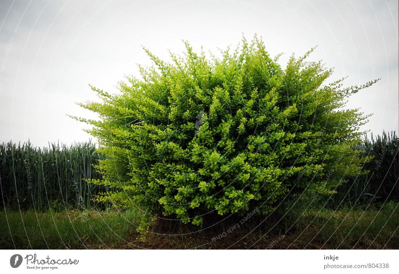 Rastabusch   haarig Umwelt Natur Pflanze Frühling Sommer Sträucher Grünpflanze Park Wiese Feld Wald Stadtrand Menschenleer grün Farbfoto Außenaufnahme