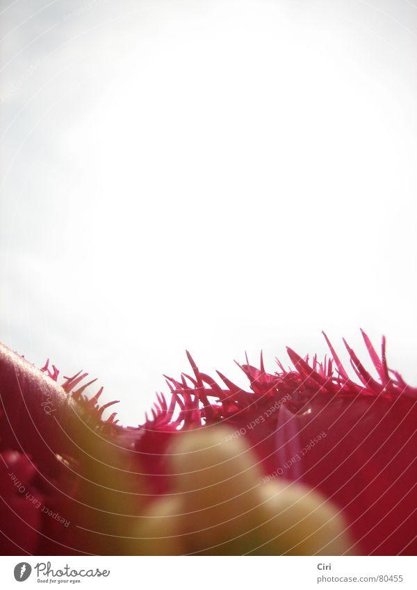 von innen nach außen Staubfäden Blume Blüte rot gelb Wolken Sommer Physik nah Pflanze Blütenblatt rosa schlechtes Wetter Tulpe Botanik Pflanzenteile Pollen