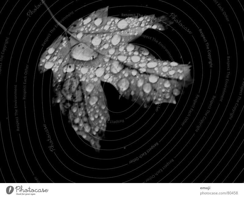 leuchtende Tropfen s/w Nr.2 Blatt schwarz Herbst Makroaufnahme dunkel körnig Trauer Regen Wassertropfen trist Schwarzweißfoto Nahaufnahme black drop white
