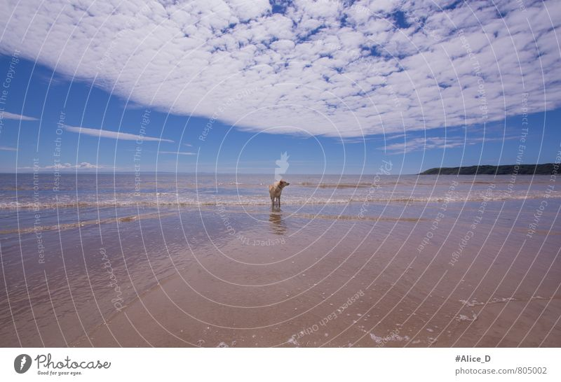 Mein Strand Hund Ferien & Urlaub & Reisen blau schön Wasser Einsamkeit Erholung Tier gelb Bewegung Schwimmen & Baden Freiheit außergewöhnlich Sand braun