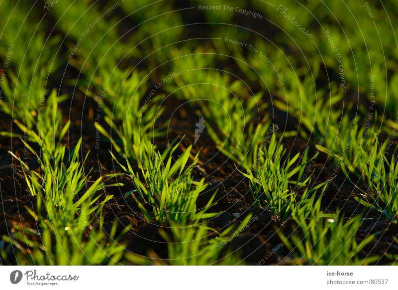 Herbstsaat Aussaat Feld grün Gegenlicht Keim Getreide Kornfeld Erde Bodenbelag