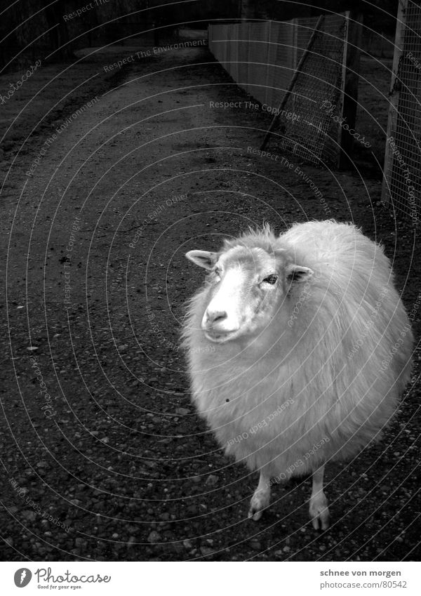 schön mollig Wärmeisolierung Streichelzoo Schurwolle Schaf Wolle kurz Physik schwarz Tier Zoo Friseur Schafsbock Säugetier Schwarzweißfoto gebürstet wollschaf