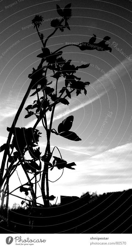 ä blümschn Himmel Pflanze Sonne dunkel Wiese Herbst Gras hell Arbeit & Erwerbstätigkeit trist Frieden Schönes Wetter Botanik Gegenteil protestieren Übergang