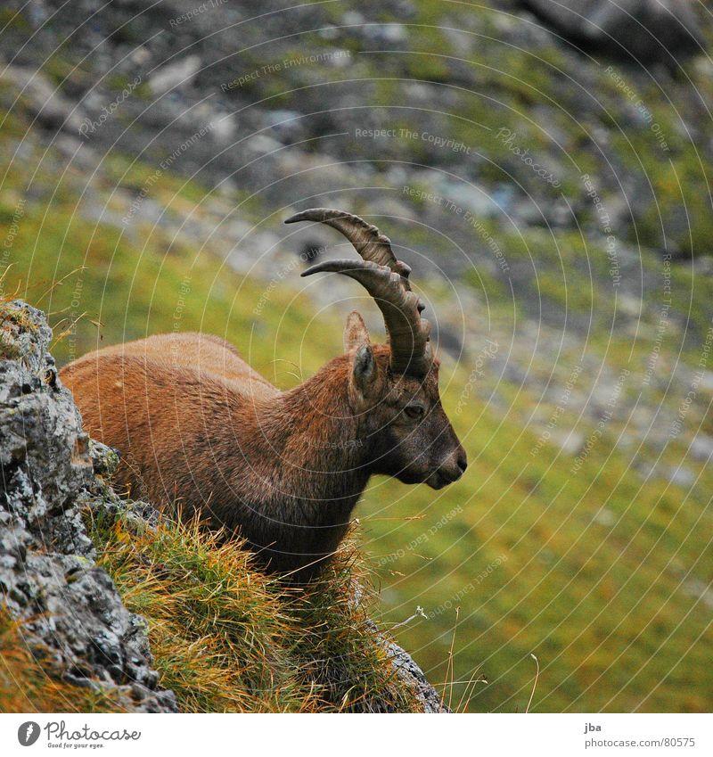 Bock Ernährung Steinbock Silhouette Fell braun Gras grün grau Tier nah Erholung Säugetier liegen ruhig Horn Ohr Profil Rücken Natur