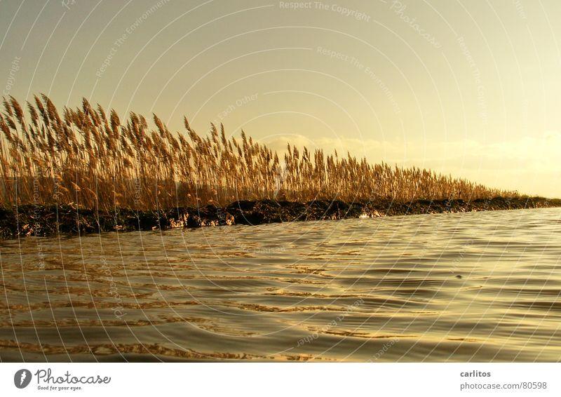 Goldenes Meer Sonnenuntergang Weißabgleich Gegenlicht Pfütze Schilfrohr Erholung Winter ruhig Wiese Umwelt Herbst Weide Licht Gras Reflexion & Spiegelung Wellen