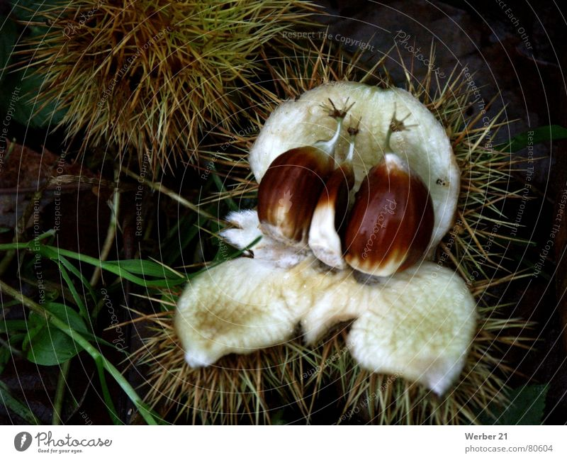 Maronen in der Schale Waldboden Herbst Makroaufnahme Gemüse Nahaufnahme Kastanienbaum Stachel