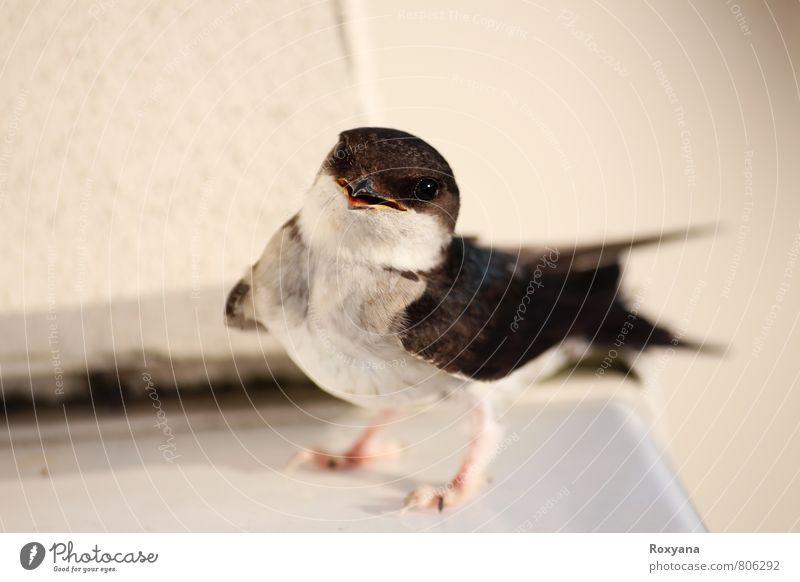 Schwalbe Natur schön Sommer Tier Umwelt Leben natürlich Vogel wild Wildtier ästhetisch niedlich Abenteuer kuschlig Stolz klug
