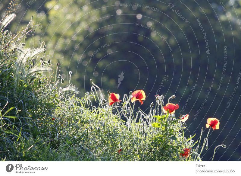 ... durchsonnt ... Natur Pflanze Sonnenlicht Sommer Schönes Wetter Blume Blüte Wildpflanze Mohn Klatschmohn Ruderalpflanze roter Mohn Mohnfeld Wiese Wiesenblume