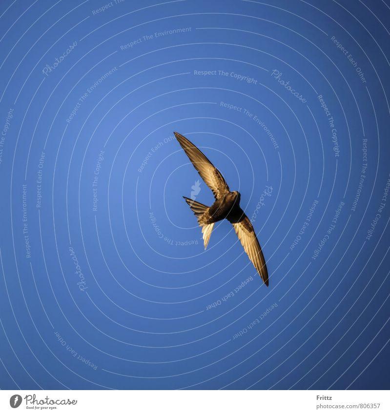 Mauersegler Tier Wildtier Vogel Flügel Seglervögel Apus Apodidae 1 fliegen oben verrückt Geschwindigkeit blau braun weiß Langstreckenzieher brauner Vogel