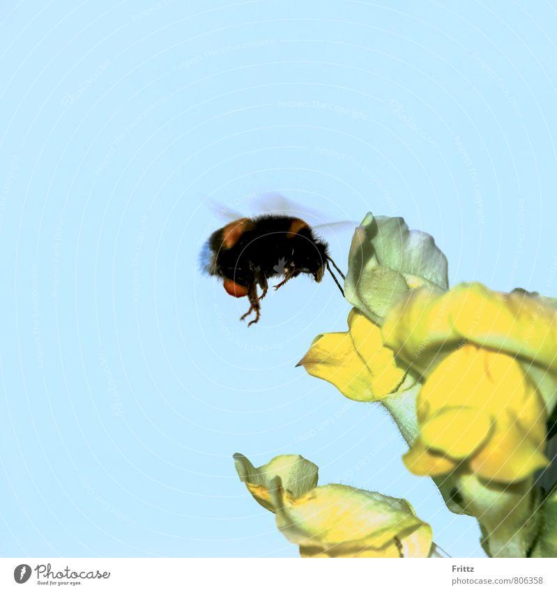 Dunkle Erdhummel Natur Pflanze Tier Himmel Schönes Wetter Blüte Löwenmaul Antirrhinum majus Wegerichgewächse Antirrhinae Froschgoscherl Armsünderkraut
