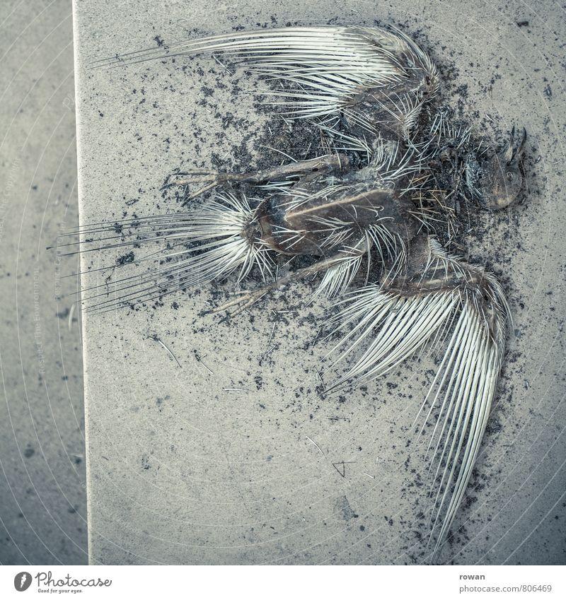 tod Vogel bedrohlich dunkel gruselig trist bizarr skurril Tod Vergänglichkeit Leiche Skelett Krankheit Anatomie Flügel Tier Farbfoto Textfreiraum links