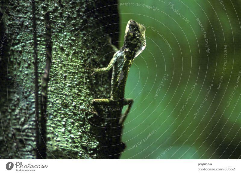 Aechse Costa Rica Gecko Tier Urwald Reptil ächse Makroaufnahme Nahaufnahme