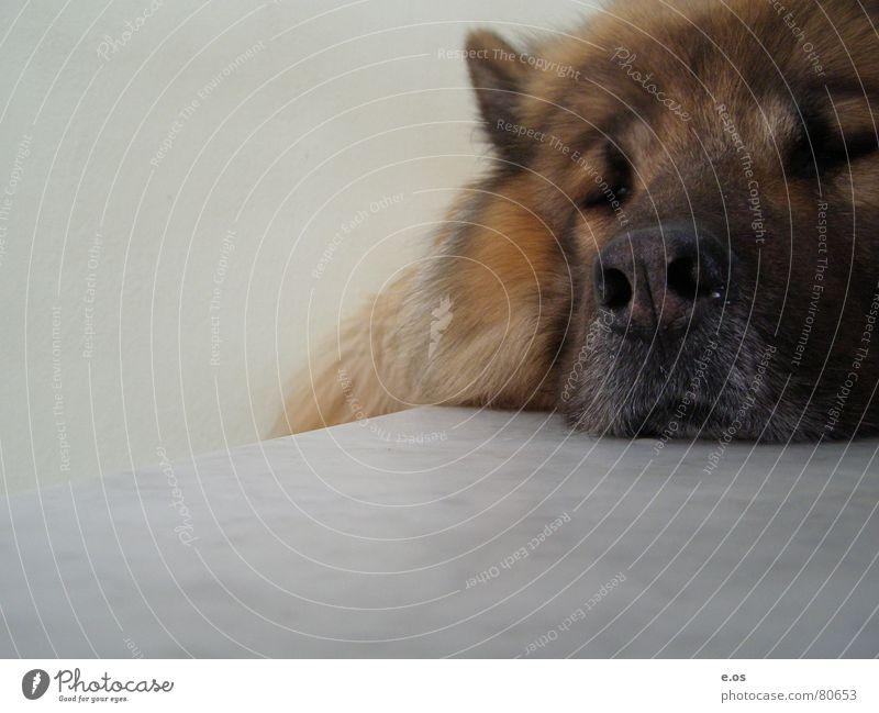 Chill Out ruhig Tier Erholung Hund Zufriedenheit schlafen Treppe Pause Bett Fell Langeweile Wachsamkeit beweglich Schnauze Maul Unbekümmertheit
