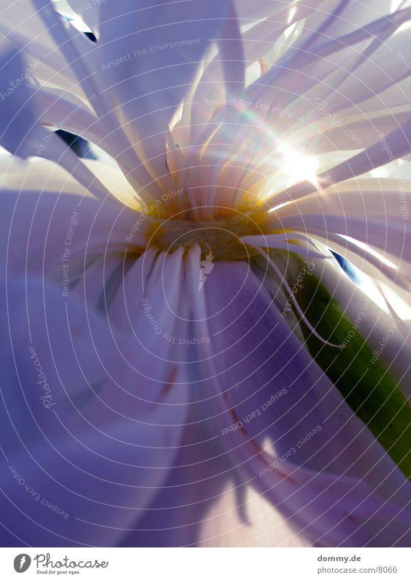 von der Sonne geküsst Natur schön weiß Blume Sommer gelb Blüte