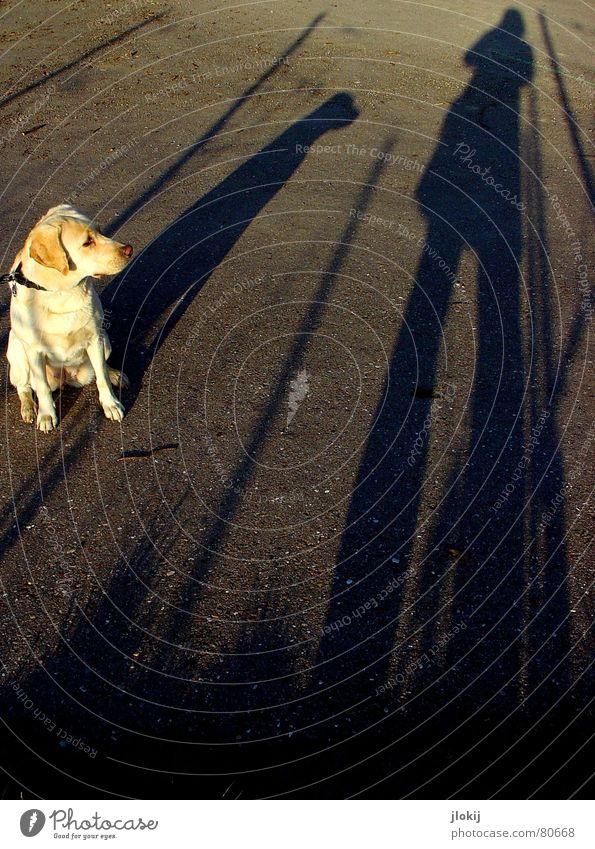 Schattenfell Labrador Hängeohr lang gezogen Hund blond Asphalt Instant-Messaging Hintergrundbild Spaziergang Tier Fell Neugier Interesse gehen verdunkeln