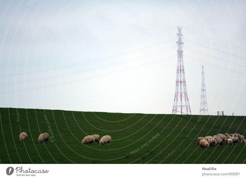 Deichtristesse grau Nebel trist Elektrizität Kabel Schutz Zaun Schaf Säugetier Wolle schlechtes Wetter Flut Deich Rasenmäher
