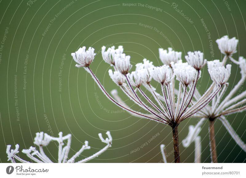 Frosty war nochmal da... Raureif kalt Winter ungemütlich schön Puderzucker Blüte Blume Pflanze Jahreszeiten grün filigran Eis kältegefühl frostgefühl Schnee
