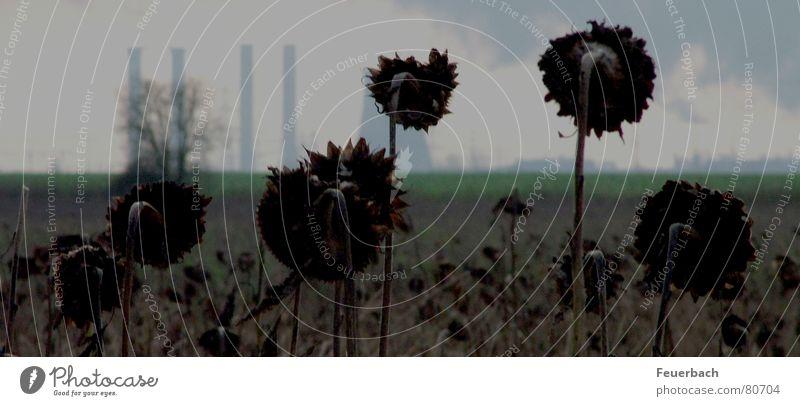 schwarze Sonnenblumen Himmel Pflanze Winter Wolken schwarz Umwelt dunkel Tod grau Traurigkeit Horizont Feld Angst Klima Perspektive trist