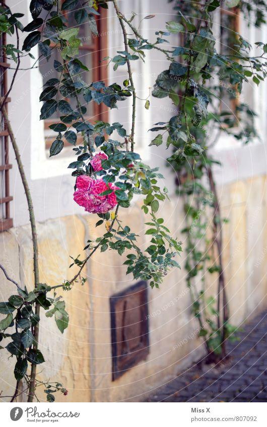 Rosenstrauch Wohnung Garten Sommer Sträucher Altstadt Fassade Blühend Duft hängen rosa Rosenblüte Dornröschen Ranke Farbfoto Außenaufnahme Menschenleer