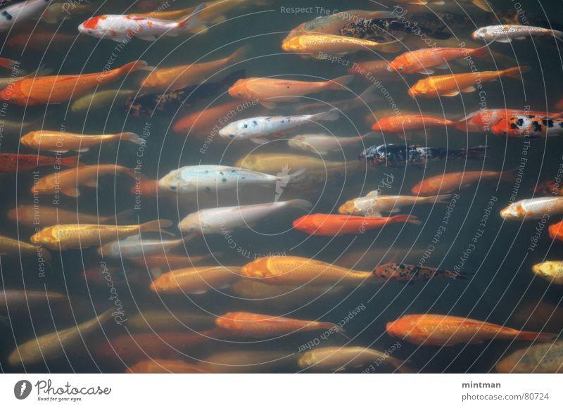 Golden fishes orange Fisch mehrere viele Teich Tier Goldfisch Gartenteich Fischzucht