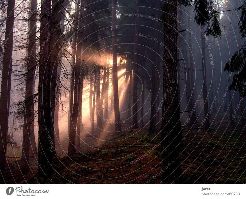 Lichtblick Baum Sonne Wald dunkel Beleuchtung Nebel Beginn Tanne Märchen Himmelskörper & Weltall Lichtstrahl Nebelschleier