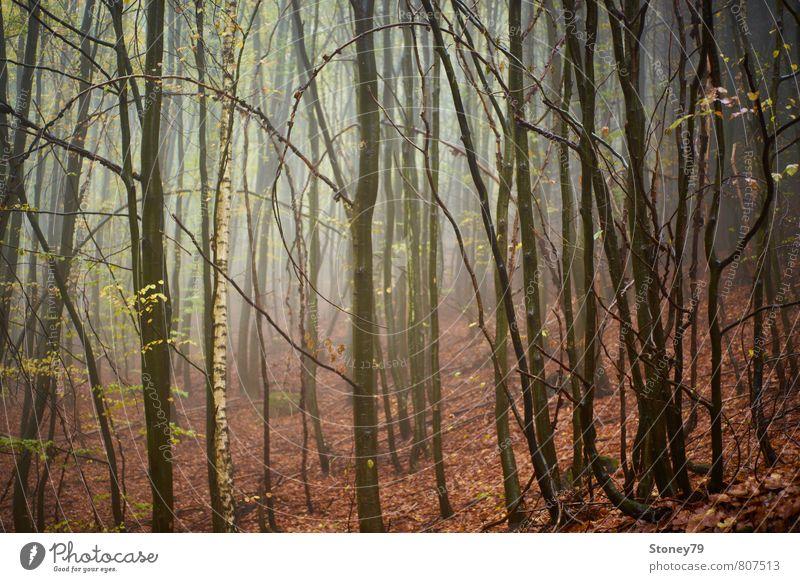 Wald Natur Herbst Nebel Baum Birke Buche Blatt nass natürlich trist braun feucht unheimlich Farbfoto Gedeckte Farben Außenaufnahme Menschenleer Morgen