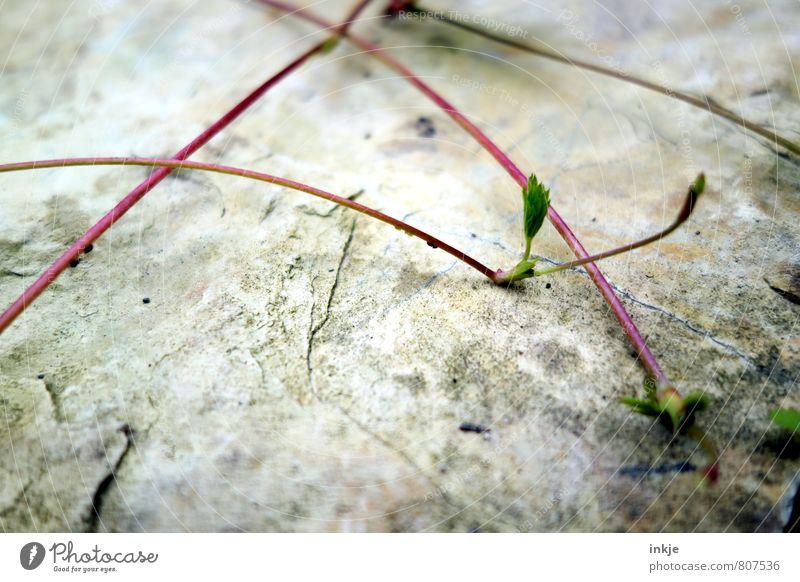 Langstreckenausläufer Natur Pflanze Frühling Sommer Blatt Nutzpflanze Wildpflanze Erdbeeren Ranke Setzling Trieb Ableger Garten Park Stein Wachstum dünn klein
