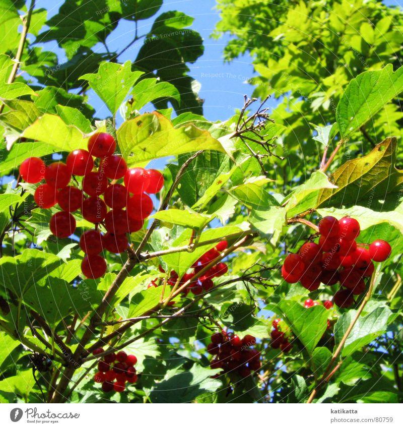 sommer. Himmel Sonne grün blau rot Sommer Blatt Frühling Garten Park Wärme Frucht Sträucher Physik Zweig Beeren