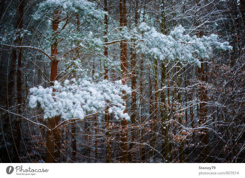 Winterwald Natur Pflanze Baum dunkel Wald kalt Schnee träumen Ast Frost eng Kiefer