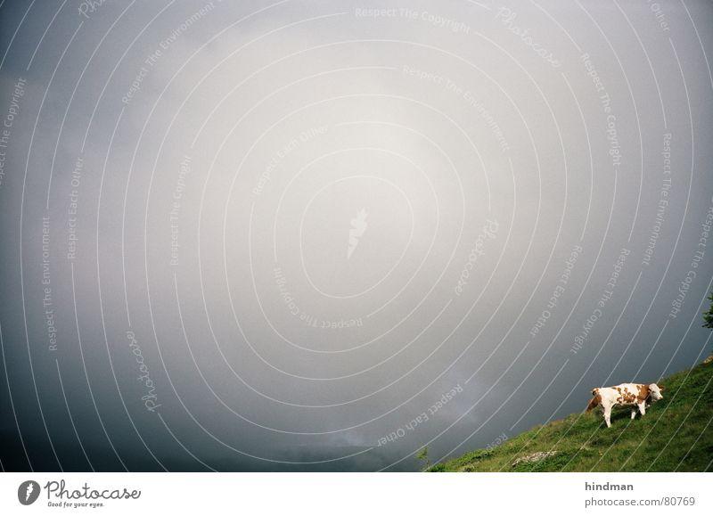 kuhhimmel Himmel Wolken Tier Herbst Berge u. Gebirge Landwirtschaft Kuh Amerika Grasland Alm Nutztier Herbstbeginn Viehweide Bergwiese Regenwolken Firmament
