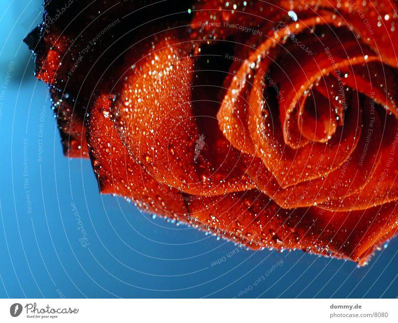 blueROSE Wasser rot Stil Wassertropfen nass Rose