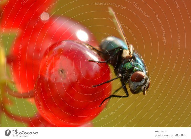 Fliege auf roter Beere Frucht Fingerfood Natur Sommer Schönes Wetter Tier Flügel 1 fliegen Fressen glänzend hell lecker listig niedlich süß Wärme grün schwarz