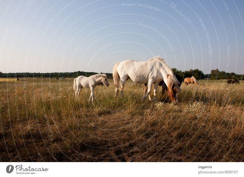 Nachwuchs Natur Landschaft Himmel Horizont Sonnenlicht Sommer Gras Tier Nutztier Pferd Island Ponys Fohlen Muttertier Herde Tierjunges Tierfamilie Fressen