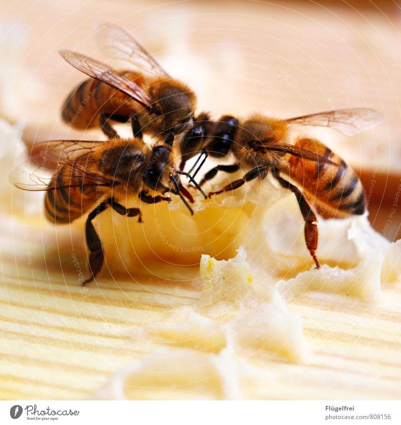 Hier wird für Sie gebaut. Biene 3 Tier bauen Streifen Insekt Tragfläche Honig Wabe Imkerei Bienenstock Rüssel Bienenwachs gelb Farbfoto Außenaufnahme
