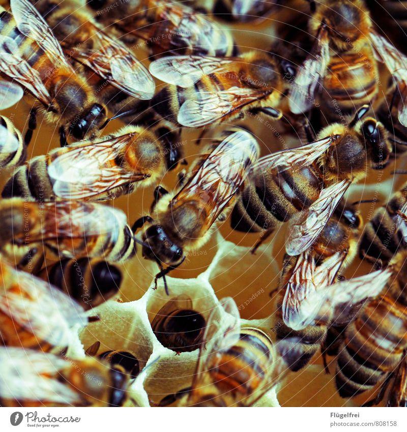 Wimmelbild Biene Schwarm bauen Bienenstock Honig Imkerei Tier Streifen gelb Tragfläche Insekt Bienenwaben viele Summen Farbfoto Außenaufnahme