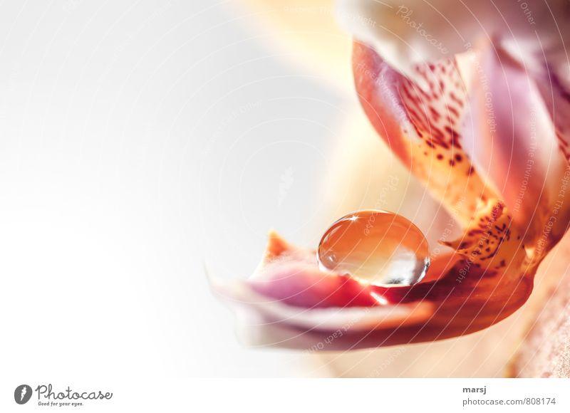 200 | Die Perle Natur Pflanze schön Erholung Blume ruhig Leben Blüte klein außergewöhnlich glänzend elegant Zufriedenheit leuchten Wassertropfen Blühend
