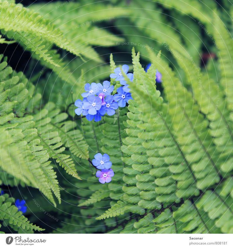 Blühender Farn Pflanze schön grün Blume Wald Umwelt Blüte Frühling natürlich klein Stimmung braun Wachstum Idylle ästhetisch
