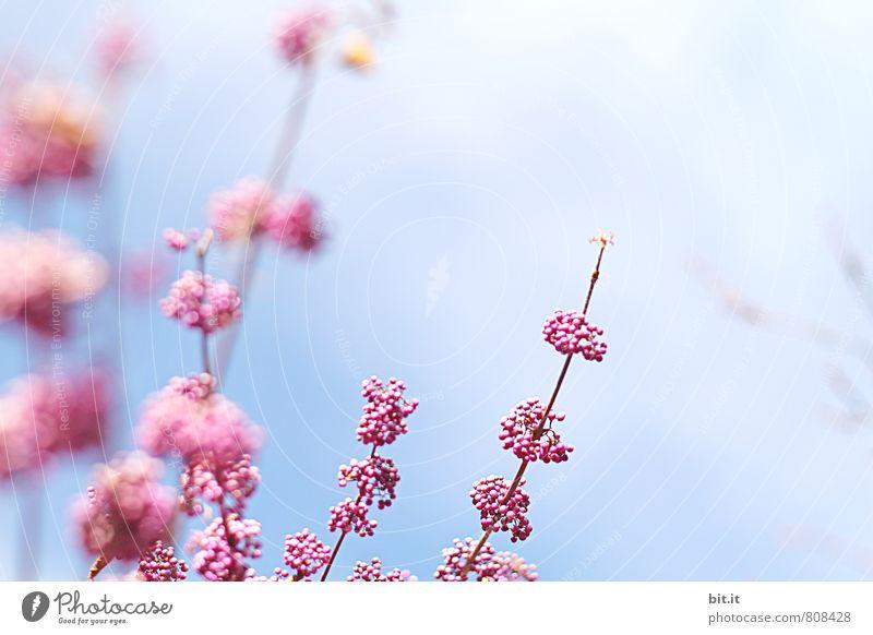 Beerenkollektion Natur Ferien & Urlaub & Reisen blau Pflanze schön Sommer Baum Blume ruhig Frühling Blüte Glück Feste & Feiern Stimmung rosa Zufriedenheit